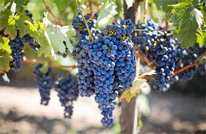 purple-grapes-vineyard-napa-valley-napa-vineyard-45209-jpeg-image-jpeg-5538-x-3692-pixels-redimensionnee-19-mozilla-fire